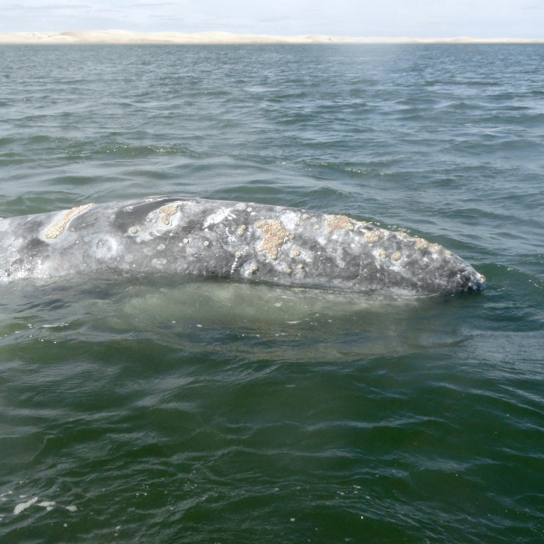 Whale watching in Magdalena Bay, Baja California Mexico by Gray Line Los Cabos