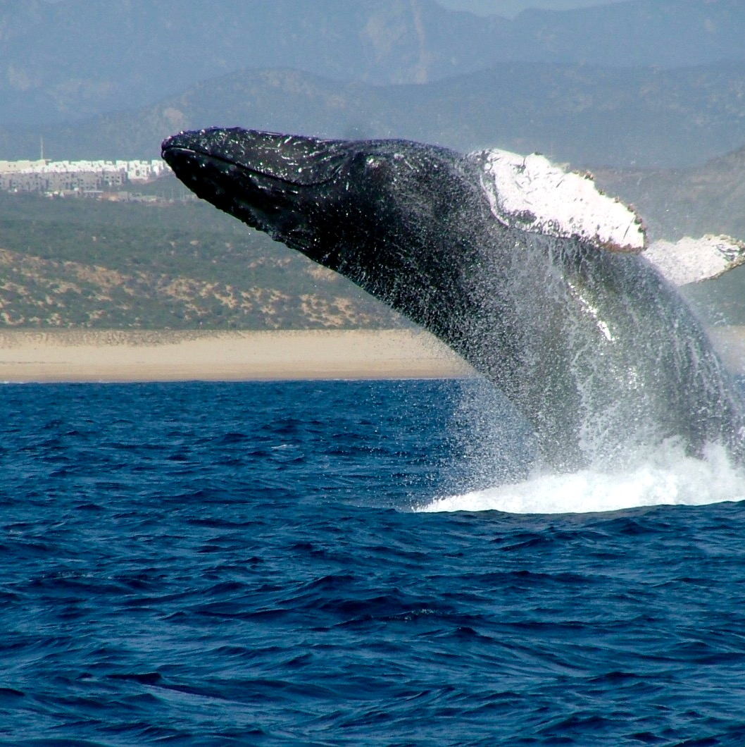 Whale watching Cabo Escape